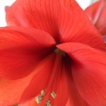 Kopia av 2013_0329bok_amaryllis0009