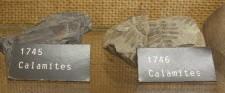 Fossila växter i museet