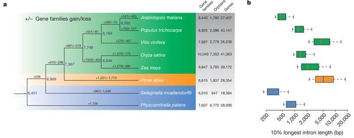 Gran har ungefär samma antal gener som andra växter (a). Däremot verkar intronerna vara ovanligt långa (b). Källa: Nystedt m.fl. Nature (2013)