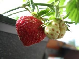 Årets första hemodlade jordgubbe