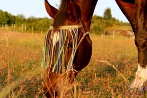 Betande häst i kvällssol