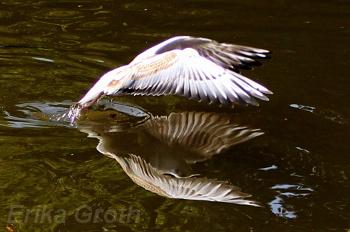 Snygg spegelbild av fågeln i vattnet