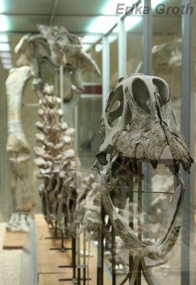 Som sig bör i ett paleontologiskt museum finns där massor av skelett.