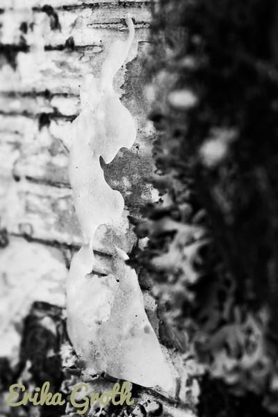 Figurer i isen på barken. Figures in the ice on the bark.