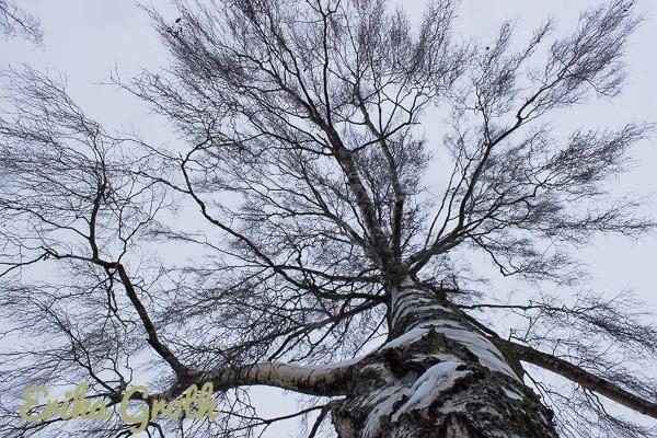 Björken. The birch.
