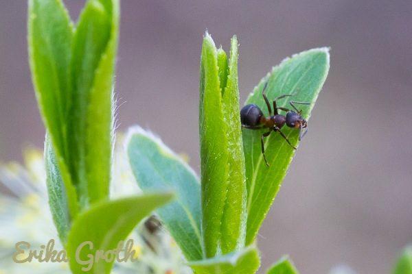 En till myra.
