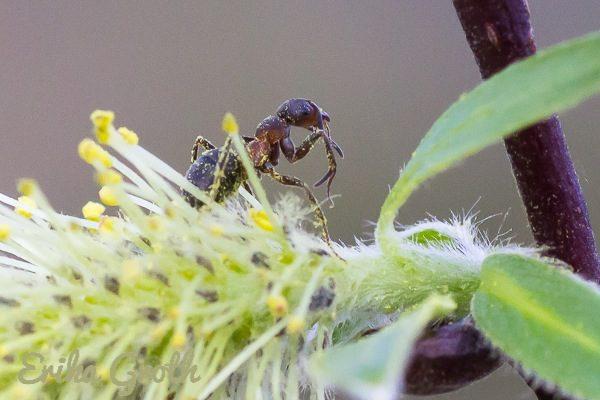 En myra som försöker tvätta sig ren från pollen.