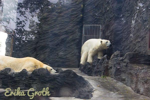 Det var stor skillnad på djurens inhägnader. Jag tyckte synd om isbjörnarna som levde i en ganska liten, inglasad bur och uppenbarligen inte trivdes så bra med det.