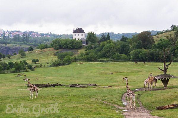 Girafferna däremot kunde vandra fritt i en gigantisk inhägnad med en fantastisk utsikt.