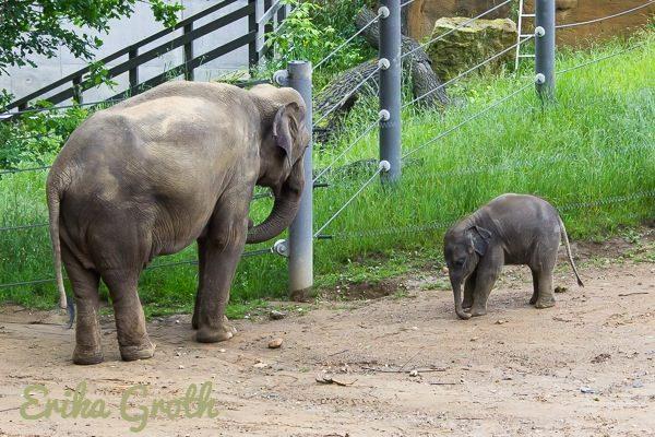 En gullig babyelefant.