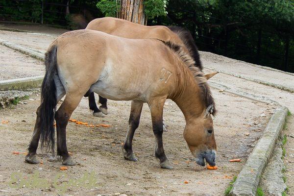 Przewalskihästar är den enda kvarvarande vilda släktingen till den domesticerade hästen. Som biologistudent gjorde jag ett litet forskningsprojekt om hästens domesticering som inkluderade att jämföra Przewalskihästar med domesticerade hästar.