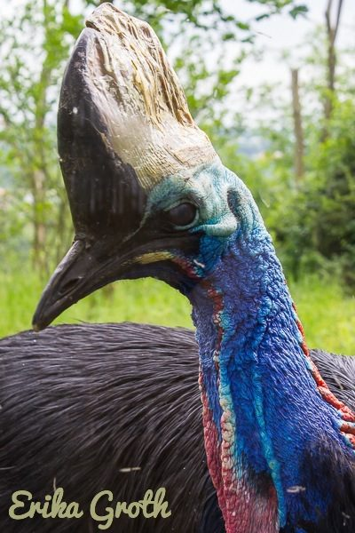 När man ser sådana här fåglar är det lätt att förstå att fåglar är ättlingar till dinosaurierna.